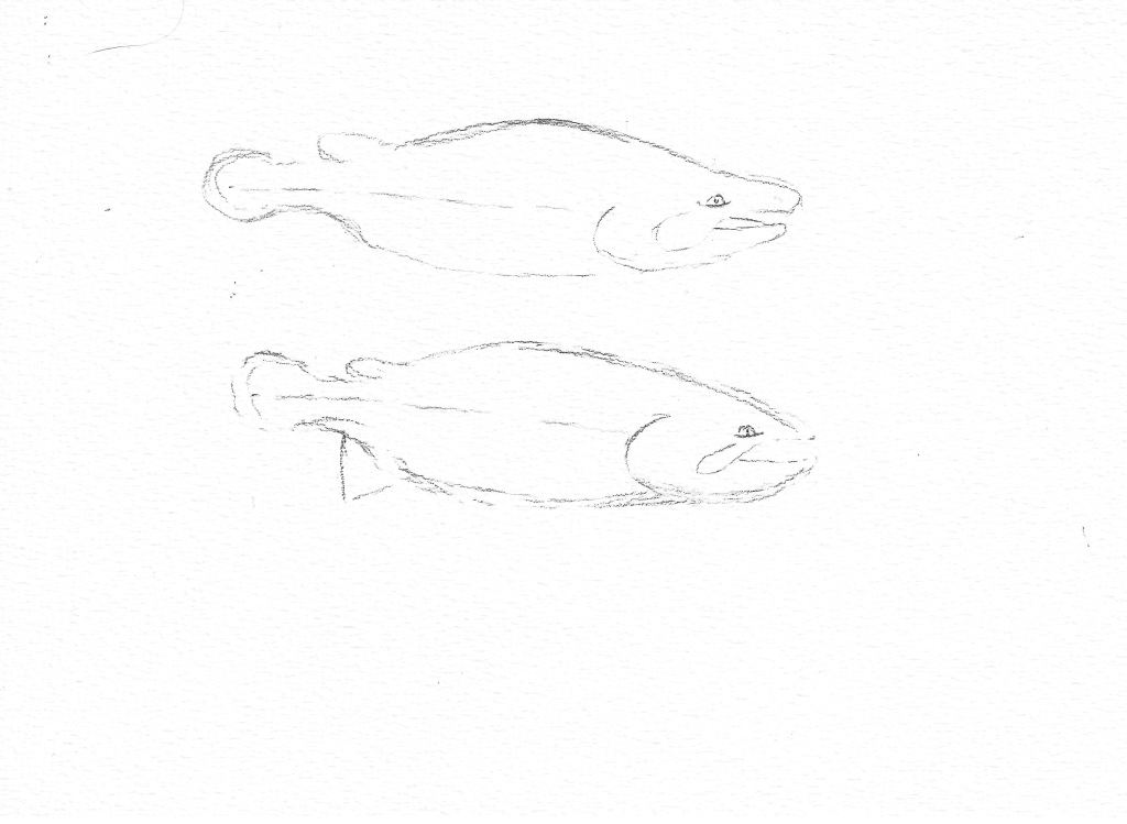 Stage one, get an outline of the male and female Chinook salmon.